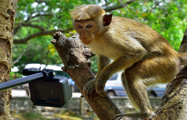 Monkeys can't own copyright, rules Ninth Circuit