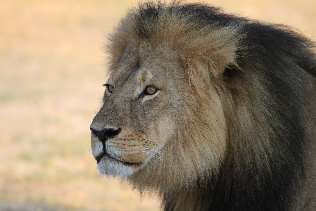 'Cecil the lion' trademark application filed