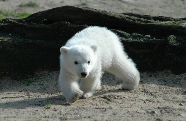 Zoo awarded Polar Bear trademark